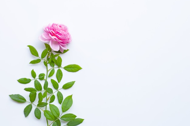 Pink rose flowers on white background.
