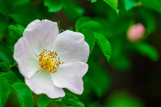 Pink rose hip flower on bush.