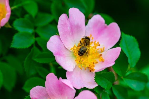 Розовый цветок шиповника на крупном плане куста.