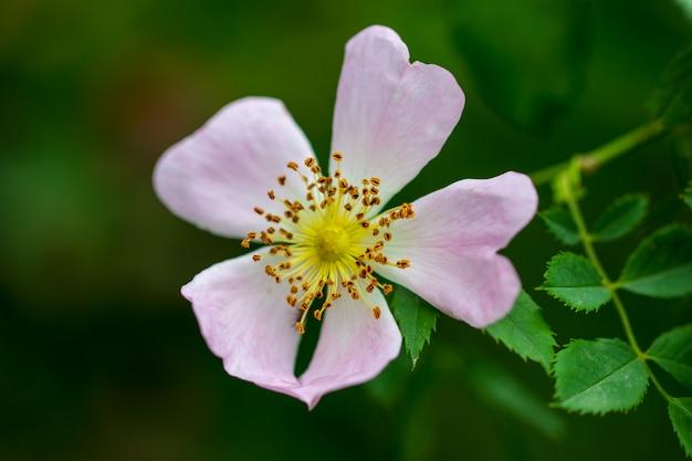 ブッシュのピンクのバラのヒップの花。