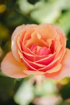 昼間はピンクのバラが咲きます