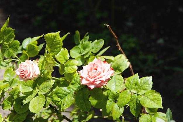 도시에서 핑크 로즈