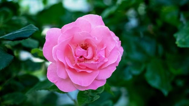暗い背景に庭のピンクのバラ
