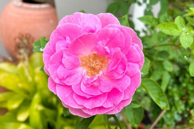 Розовая роза в зеленом саду. на день святого валентина.