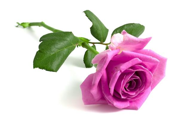 Розовая роза, изолированные на белом фоне.