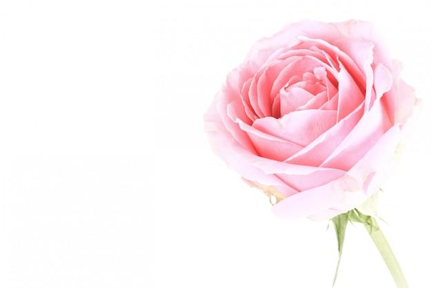 Розовая роза на белом фоне