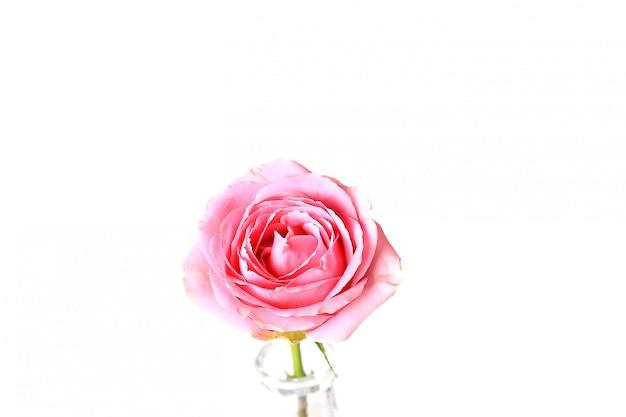 핑크 로즈 흰색 배경에 고립