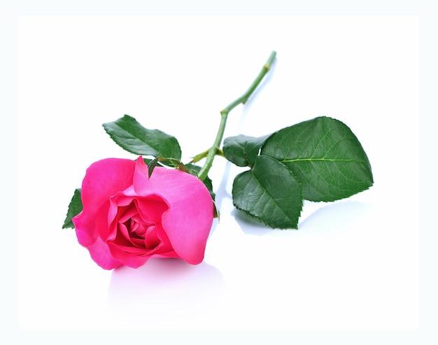白で分離されたピンクのバラ