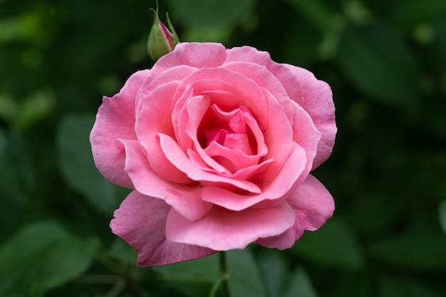 Розовая роза сорта королевы елизаветы на темно-зеленом фоне крупным планом. разведение и уход за цветами.