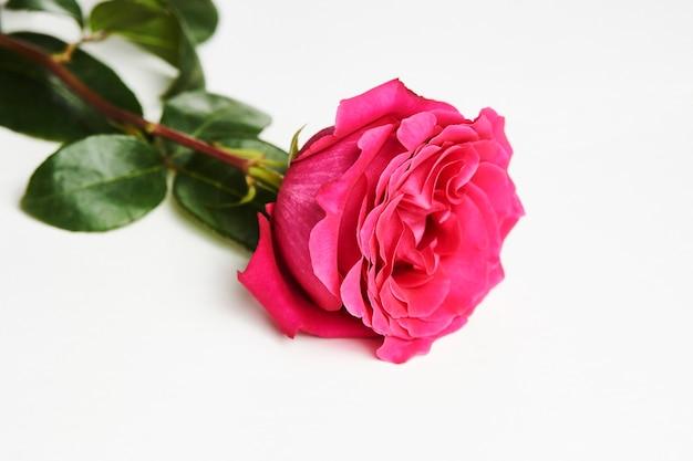 コピースペースと白い背景の上のピンクのバラ。