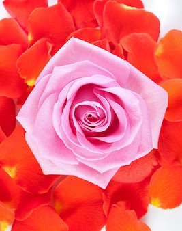 Pink rose and red petals