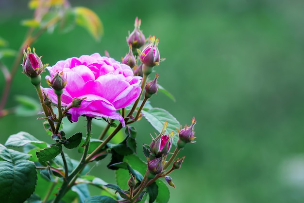 Pink rose with buds in garden on a green blurry background
