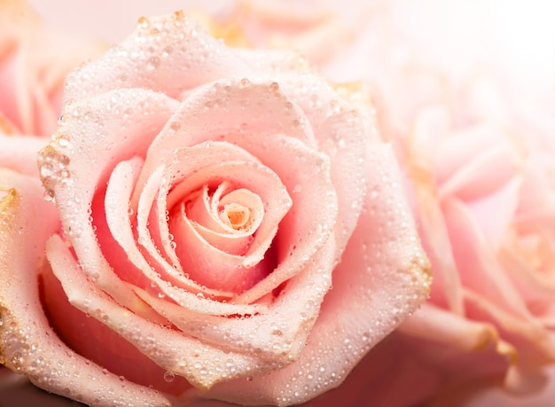 Pink rose with dew drops lies on a delicate silk surface