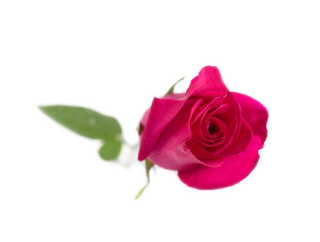 Розовая роза с листьями, изолированные на белом фоне на день святого валентина или романтические события.