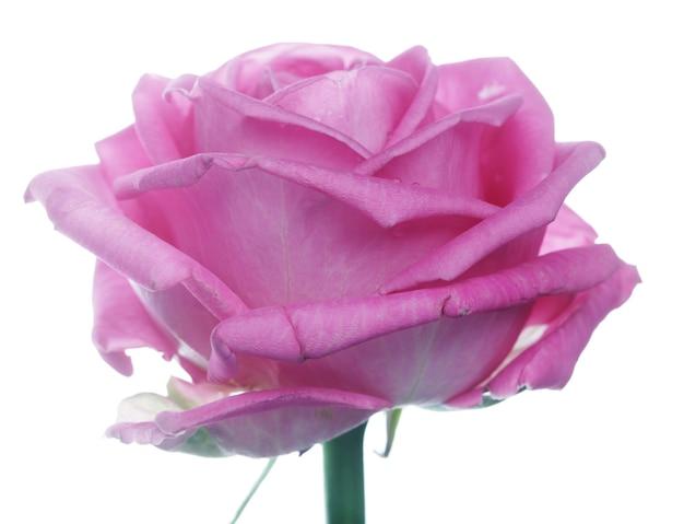 물 방울과 핑크 장미를 닫습니다.