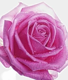 Розовая роза с каплями воды крупным планом