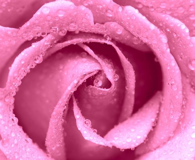 분홍 장미