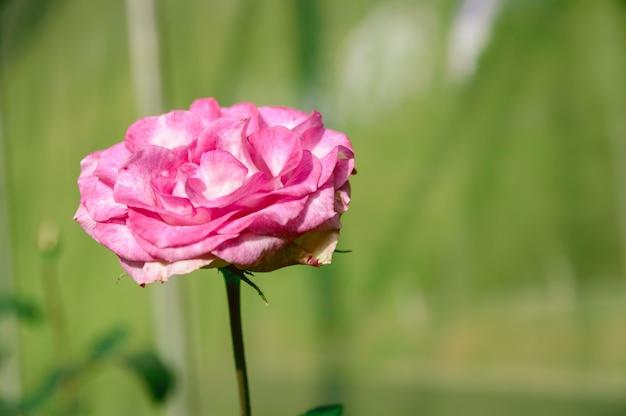 庭に咲くピンクのバラ。