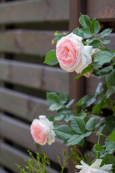 Pink roses climbing on the wooden fence selective focus