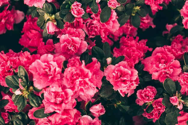 Pink roses in flower background