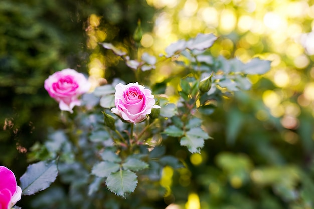 Pink roses in the garden in warm sunny day