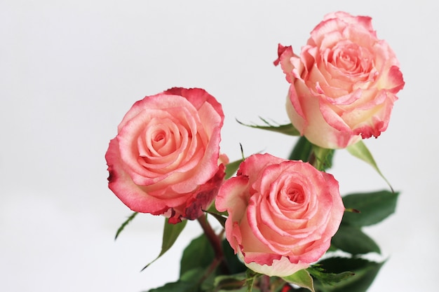 Pink roses on gray background