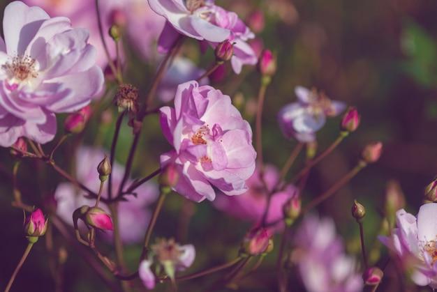 秋の庭の夜の光の中でピンクのバラ