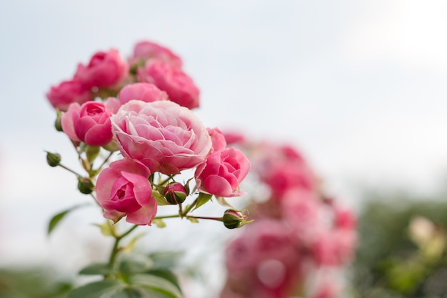 Розовые розы в саду цветущие