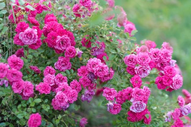 Розовые розы в саду в кустах