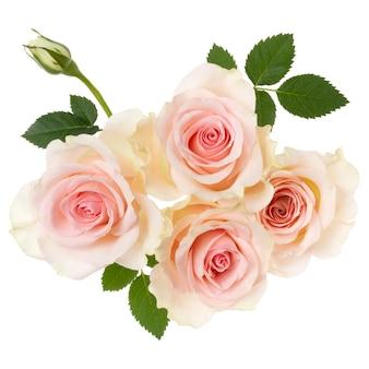 Розовые розы, изолированные на белом фоне крупным планом.