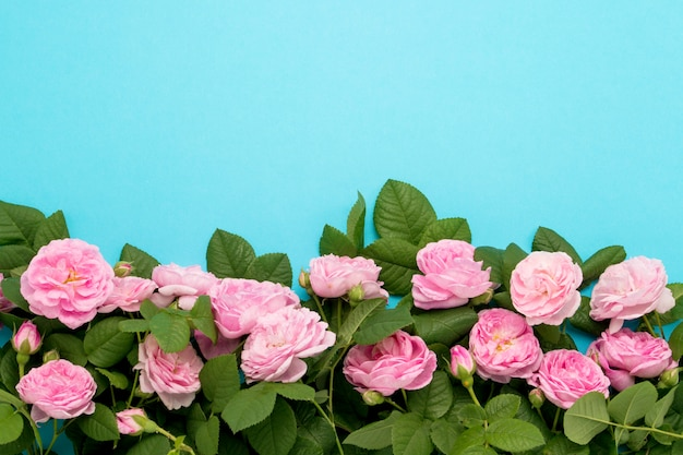 Pink roses lined at the bottom of the image on a blue background. flat lay, top view