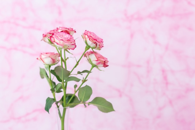 Pink roses on a pink marble background. close-up with space for text. postcard for february 14,