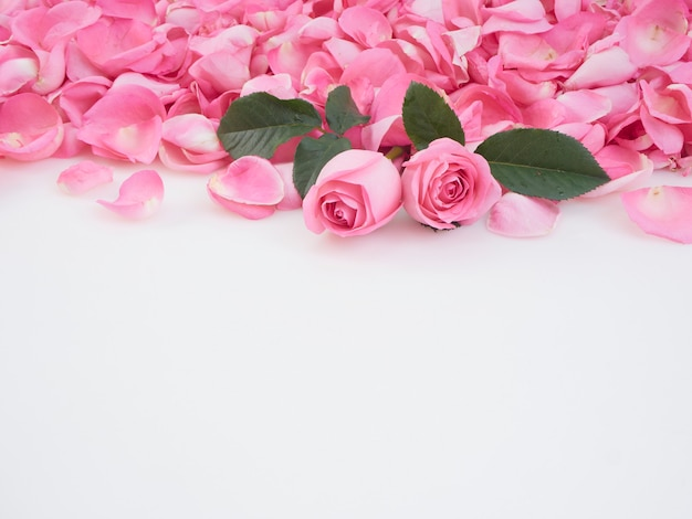Pink roses on white background.