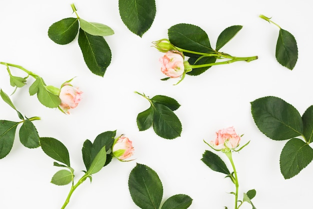 Pink roses with leaves on white background