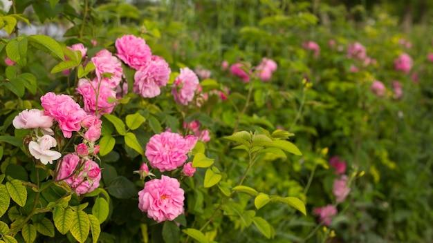 핑크 장미