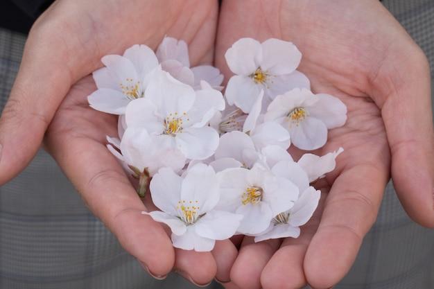 Pink sakura blossom in hand