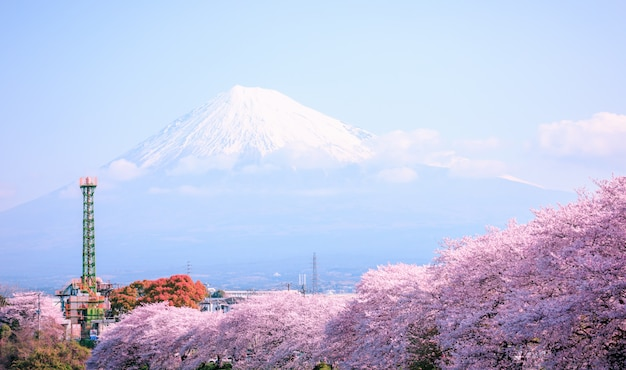 Pink sakura blossom season and fuji mountain in japan