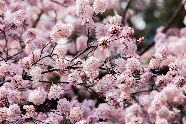 ピンクの桜は日本でクローズアップ