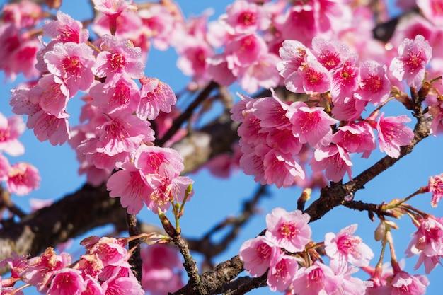 Pink sakura flower against blue sky.