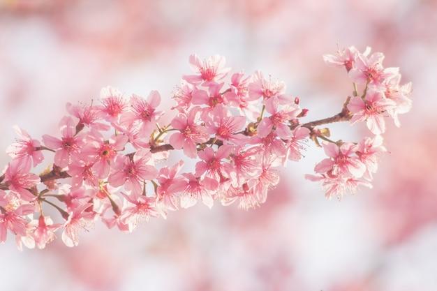 Pink sakura flower, cherry blossom, himalayan cherry blossom