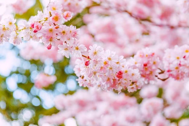 Pink sakura flower, cherry blossom tree in park.