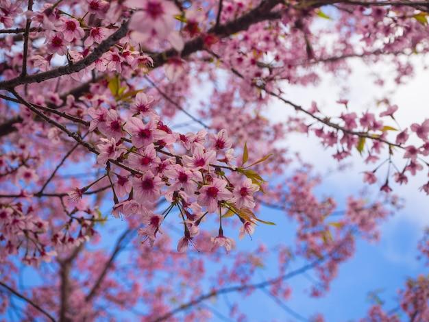 태국, 야생 히말라야 체리 핑크 사쿠라 꽃