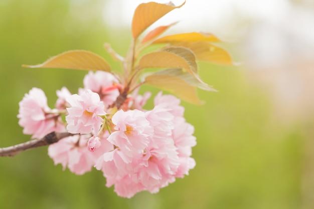 Pink sakura flowers. cherry blossom