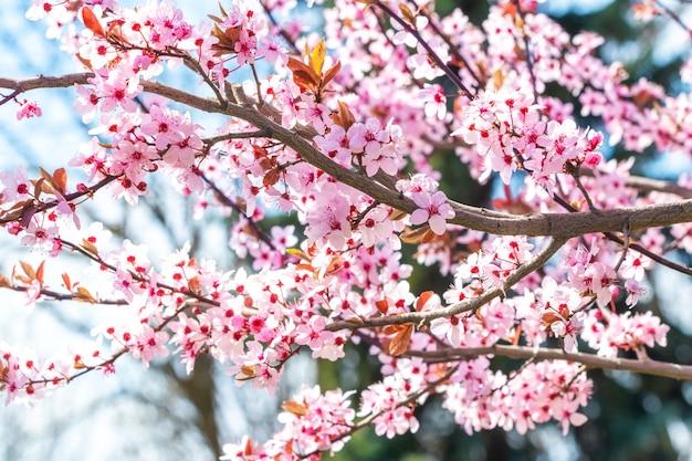 Розовые цветы сакуры в солнечную погоду