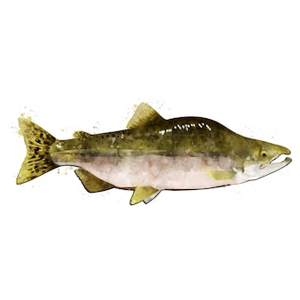 Pink salmon male, watercolor isolated illustration of a fish.