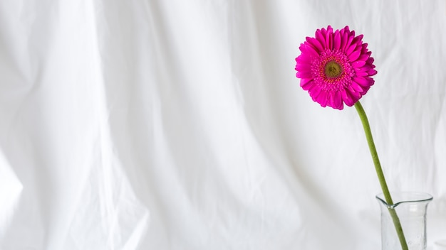 Pink single gerbera flower in front of white curtain