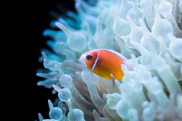 Pink skunk clown fish in anemone bubble of a green florescent