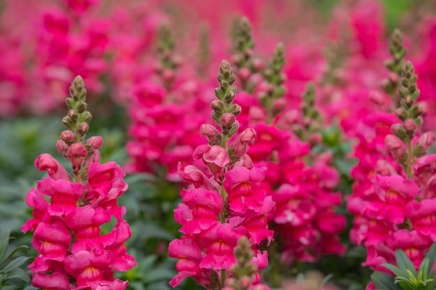 Pink snapdragon flower is a beautiful bloom in a flower garden.
