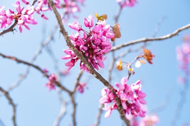 화창한 날 나무 가지에서 분홍 봄꽃이 피어납니다. 벚나무. 자연. 프리미엄 사진