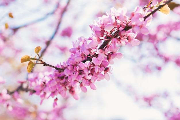 화창한 날 나무 가지에서 분홍 봄꽃이 피어납니다. 벚나무. 자연.